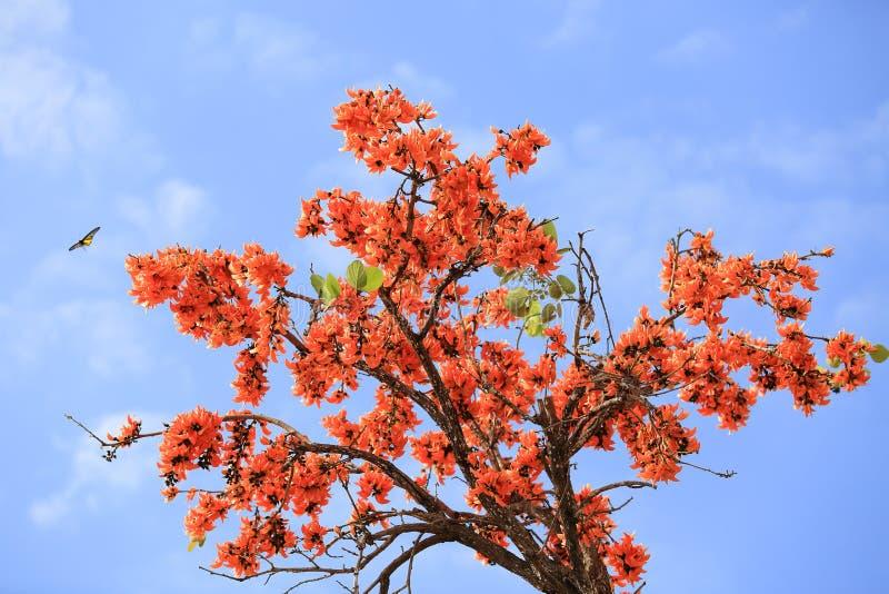 Butea monosperma flower blooming on tree. royalty free stock photo