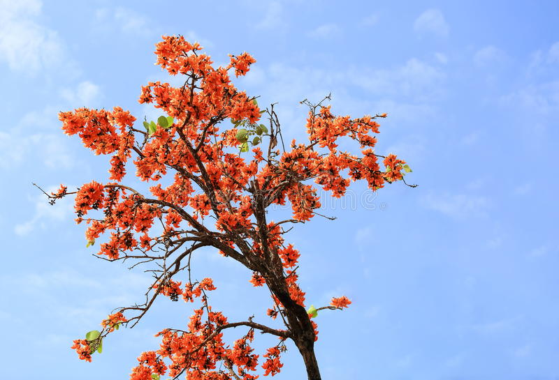 Butea monosperma flower blooming on tree and sky background. royalty free stock photography