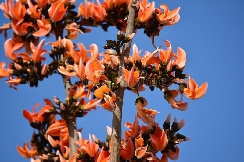 Dhak Flower Red Drop In Ground Stock Image - Image of dhak ... Palash Flower Wallpaper