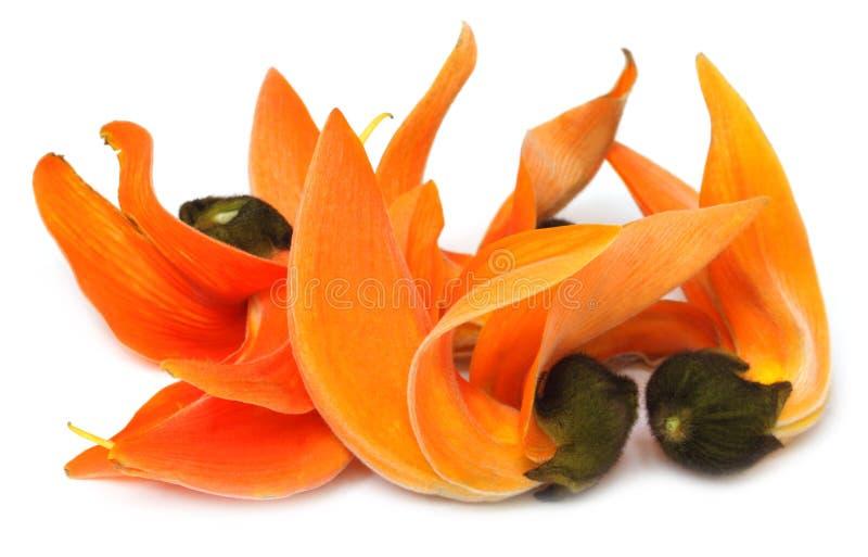 Butea Monosperma or Palash flower of Southeast Asia stock image