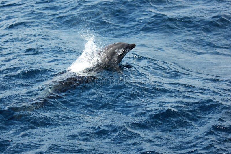 Butelka Ostrożnie wprowadzać delfin głowa w górę zdjęcie stock