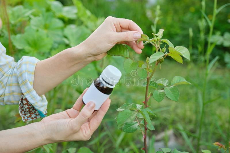 Butelka z chemicznym flitem w ogrodniczki ręce w górę, tło atakująca korówka insektów roślina wzrastał zdjęcia stock
