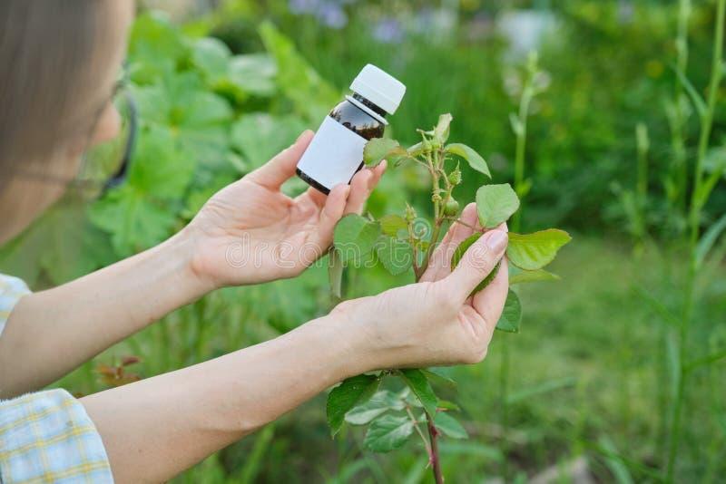 Butelka z chemicznym flitem w ogrodniczki ręce w górę, tło atakująca korówka insektów roślina wzrastał obraz stock