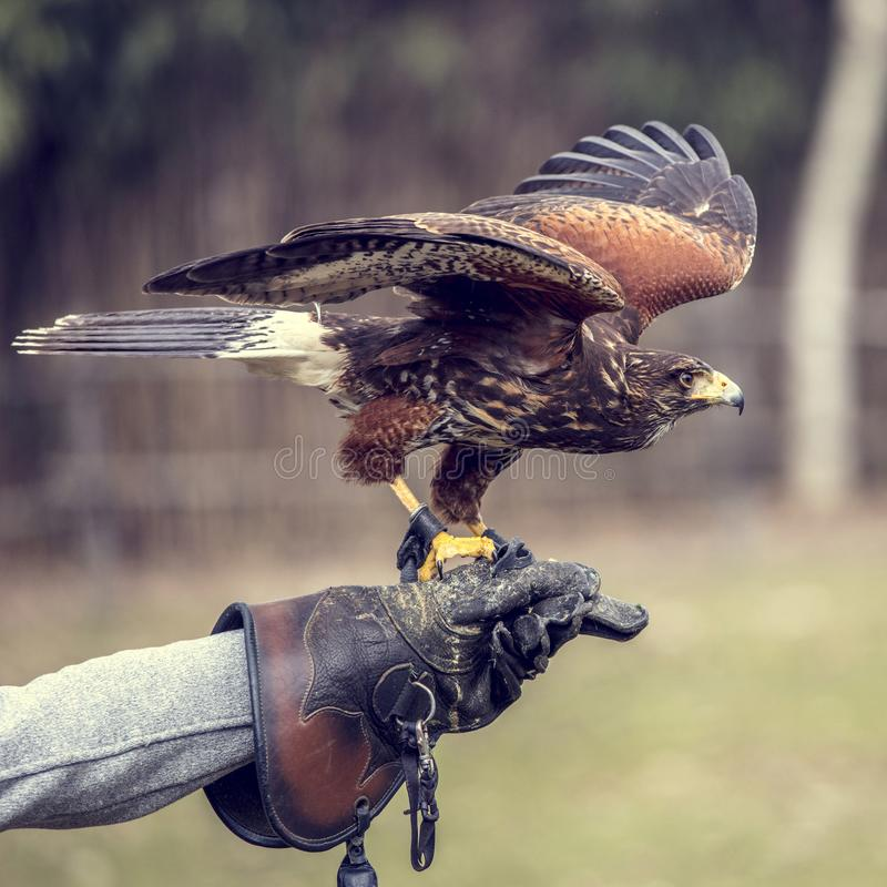 Buteo buteo portrait. Buteo buteo on falconer glove stock images