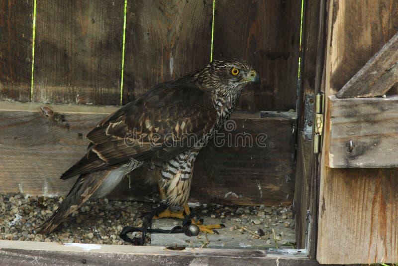 Buteo commun de Buteo de Buzzard dans un abri en bois à un club de fauconnerie photo stock