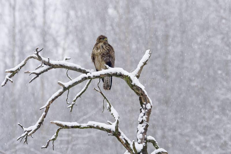 Buteo comum do Buteo do busardo no inverno foto de stock