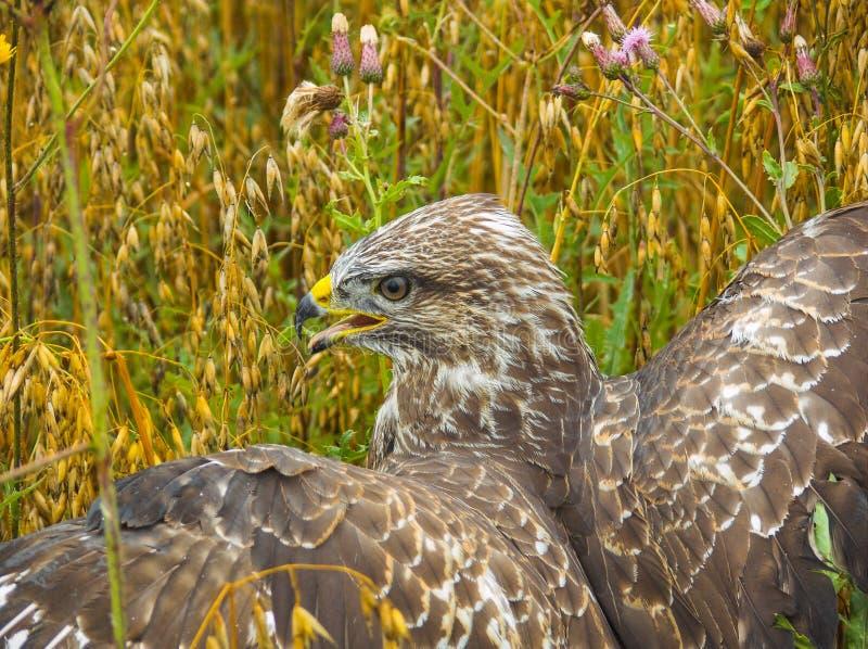 Buteo del Buteo fotografia stock libera da diritti