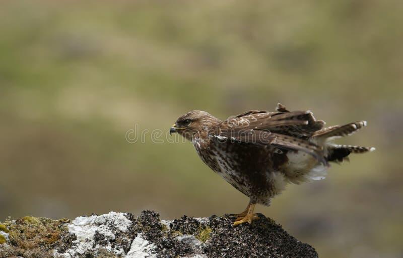 Buteo del Buteo del halcón que se coloca en una roca que tiene una sacudida foto de archivo libre de regalías