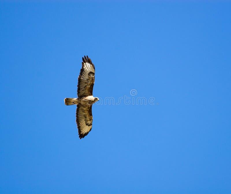 Buteo do Buteo, Buzzard comum imagem de stock