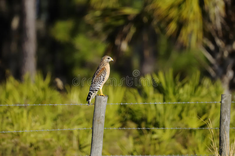 Download Buteo Lineatus, Red-shouldered Hawk Royalty Free Stock Image - Image: 13519266