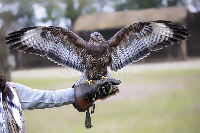 Buteo open wings. Buteo buteo open wings on falconer glove royalty free stock images