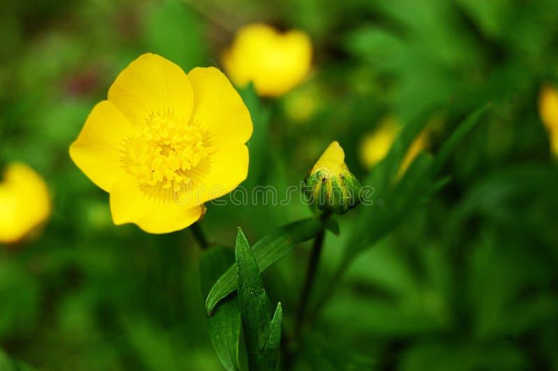 Butercup jaune photographie stock