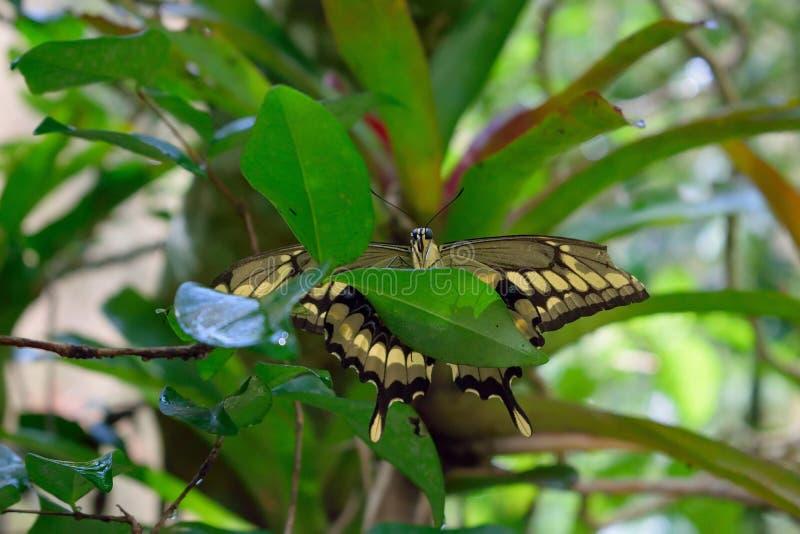 Buterrfly med öppna vingar arkivbild