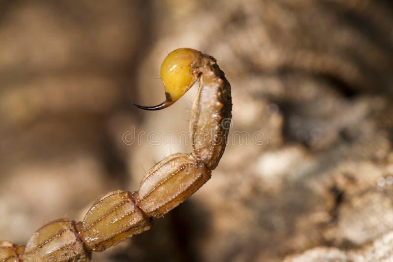 Buthus蝎子蜇尾巴 免版税库存图片