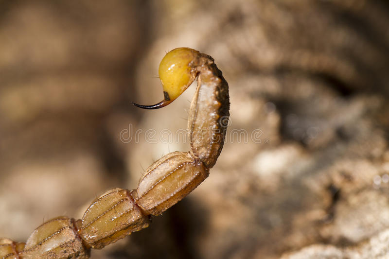 Buthus scorpion sting tail royalty free stock images