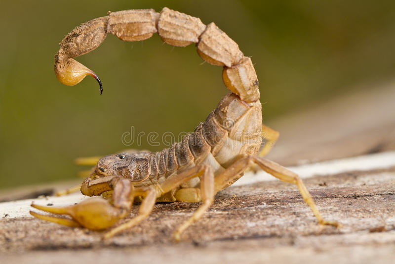 Buthus skorpion arkivfoto