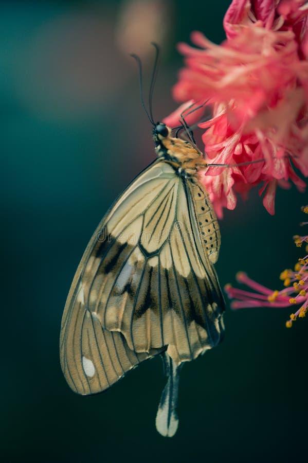 butine beige y blanco de la mariposa marrón grande una flor roja foto de archivo