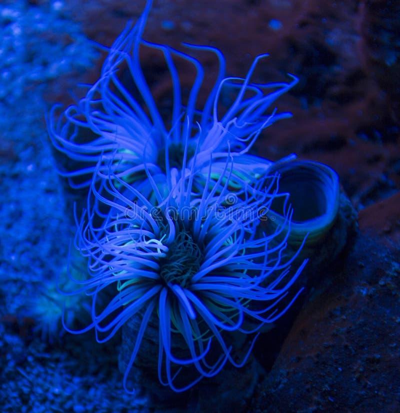 Butli Cerianthus anemonowy membranaceus zdjęcie royalty free