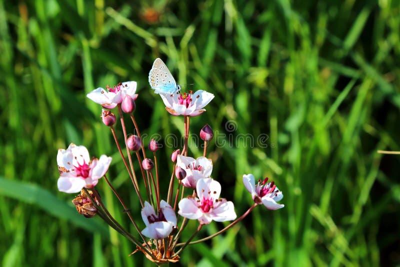 Butomus-umbellatus ist eine umbellate blühende Pflanze, die auf Th wächst stockbilder