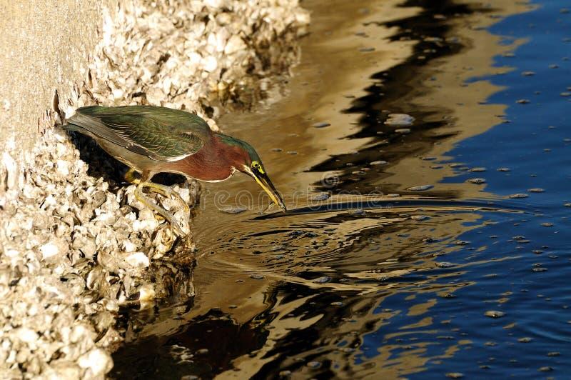 butorides som fiskar den gröna heronen, virescen royaltyfri bild