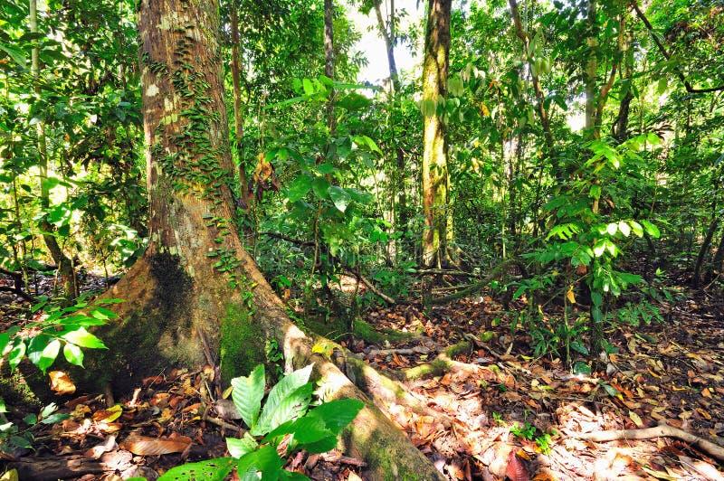Butress-Wurzeln vom enormen Baum lizenzfreies stockfoto