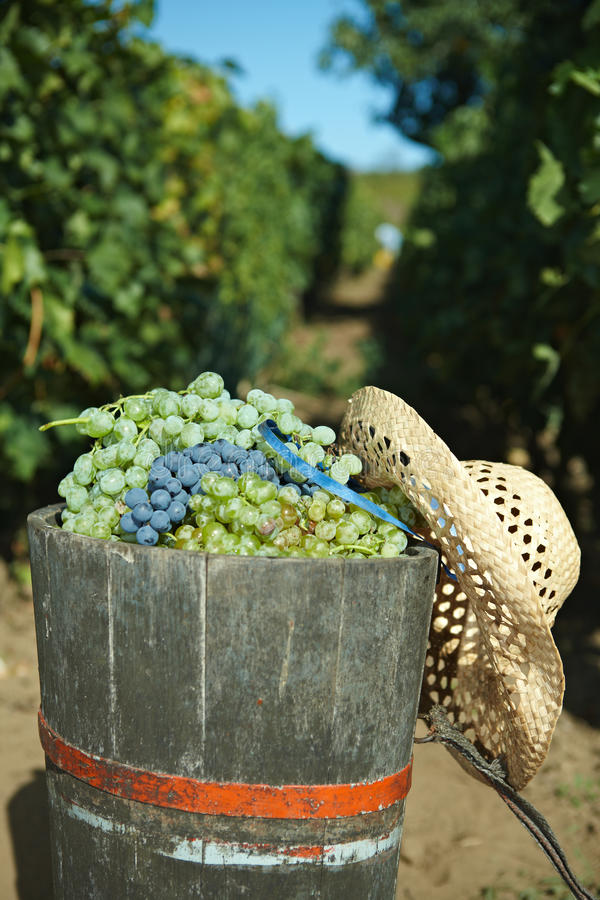 Full of grapes. During the vintage stock image