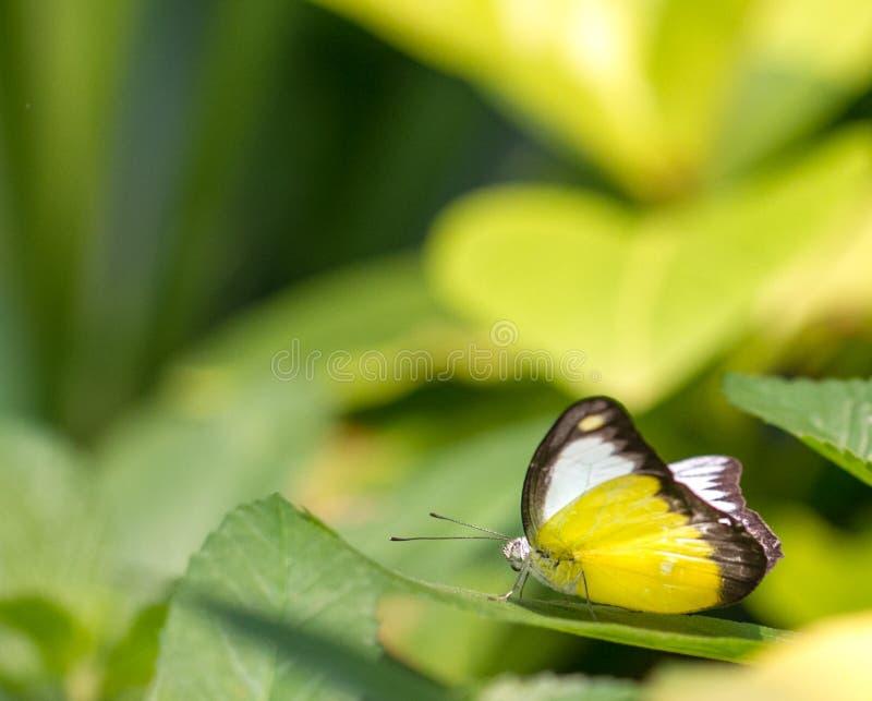 Butteflies альбатроса шоколада в саде стоковое изображение