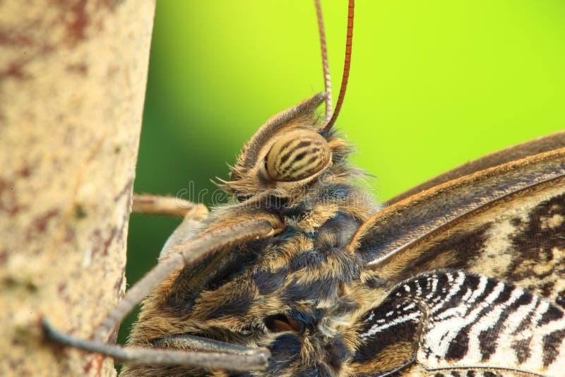 buttefly сыч гиганта детали стоковая фотография