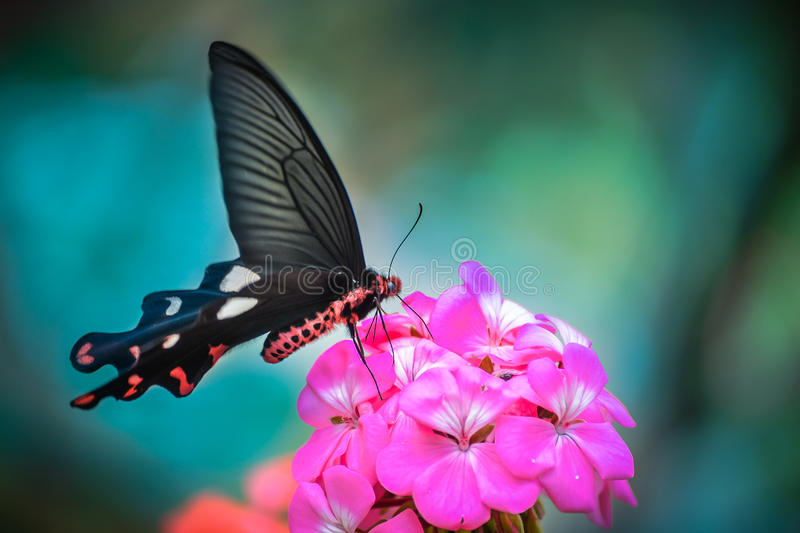 Buttefly with magenta flower royalty free stock images