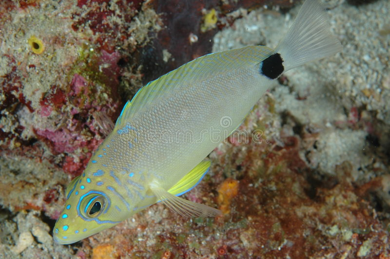 Butter Hamlet. Blue Hamlet-Hypoplectrus unicolor, picture taken in south east Florida stock image