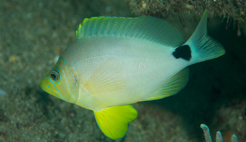 Butter Hamlet-Hypoplectrus unicolor. Butter Hamlet, picture taken on a reef in south east Florida stock image