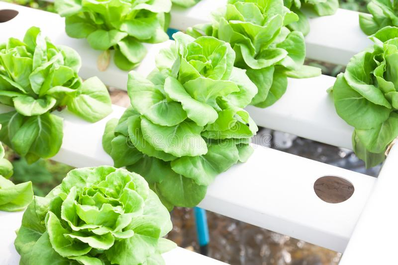 Butter head, salad vegetables in hydroponics farm royalty free stock photography