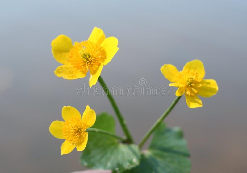 buttercup royaltyfri bild