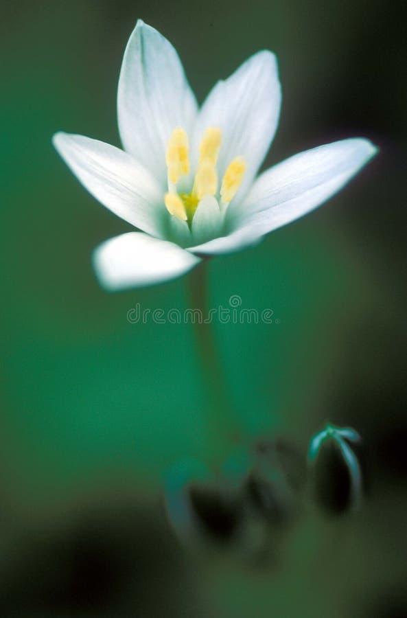 buttercup royaltyfri fotografi