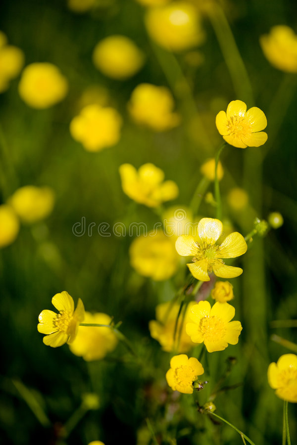 Buttercup Flower stock photography