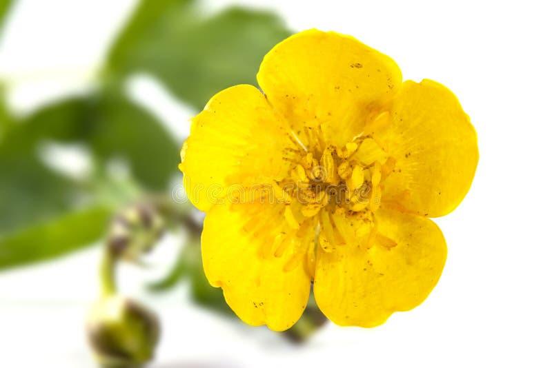Buttercup flower stock photos
