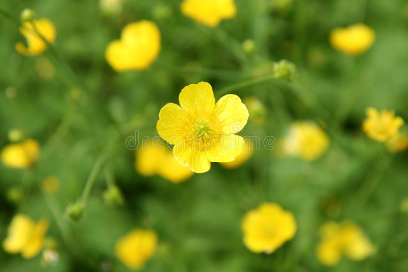 Buttercup flowers. Yellow buttercup flowers blooming in close up royalty free stock images