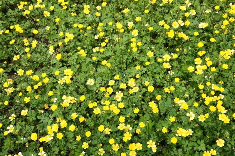 Buttercup flowers. Field of buttercup flowers blooming stock image
