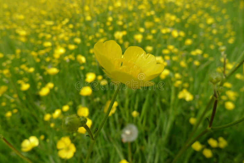 Buttercup flowers in field. The Netherlands royalty free stock photo