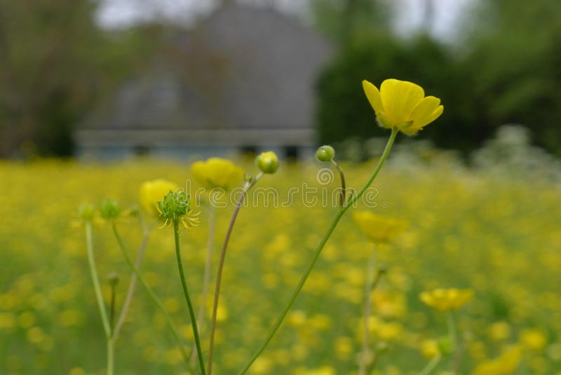 Buttercup flowers in field. The Netherlands stock images