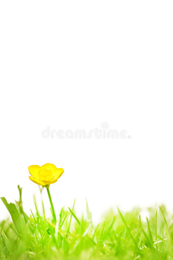 Buttercup isolated on white stock photos