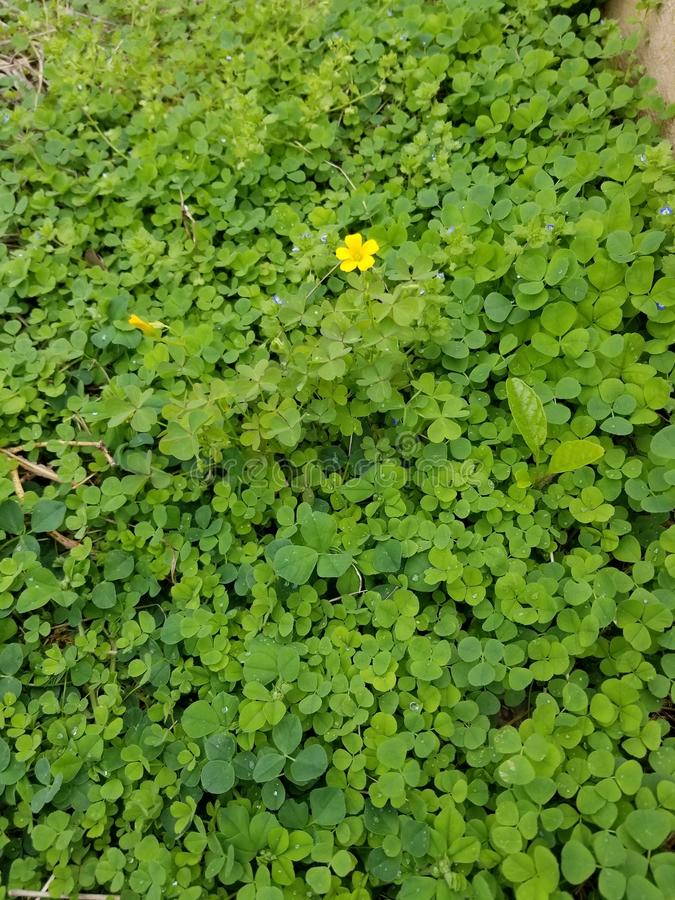 Buttercup and Ivy royalty free stock photography