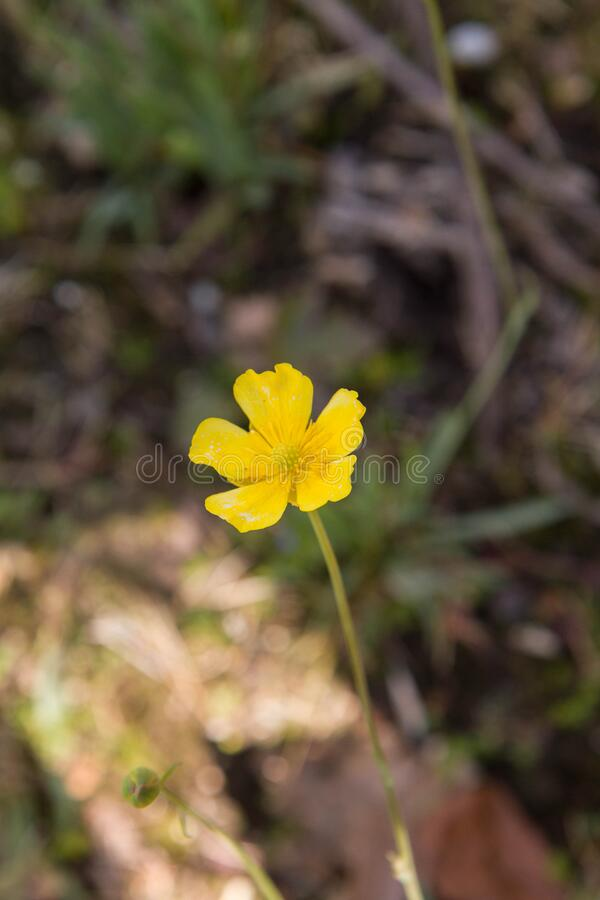 The buttercup plant royalty free stock image