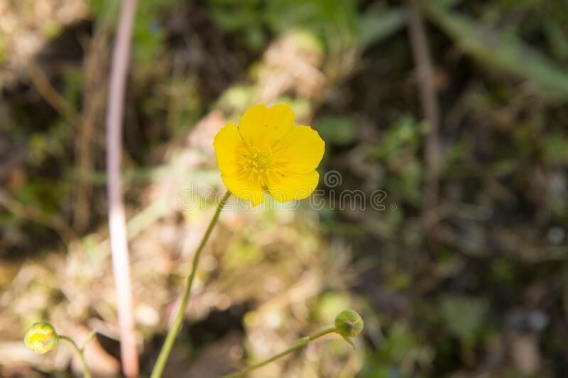 The buttercup plant stock photo