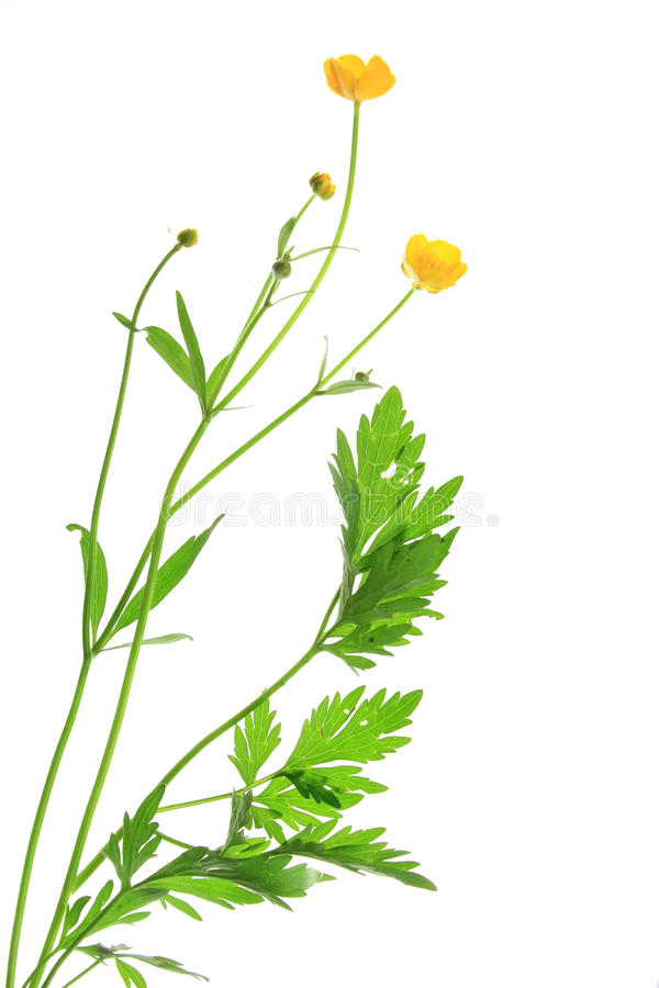 Buttercup (Ranunculus acris). Flowering plant in front of white background isolated before white background stock photos