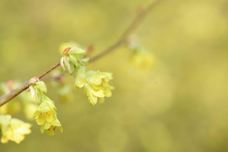 Download Buttercup winter-hazel stock photo. Image of winter, yellow - 31254076