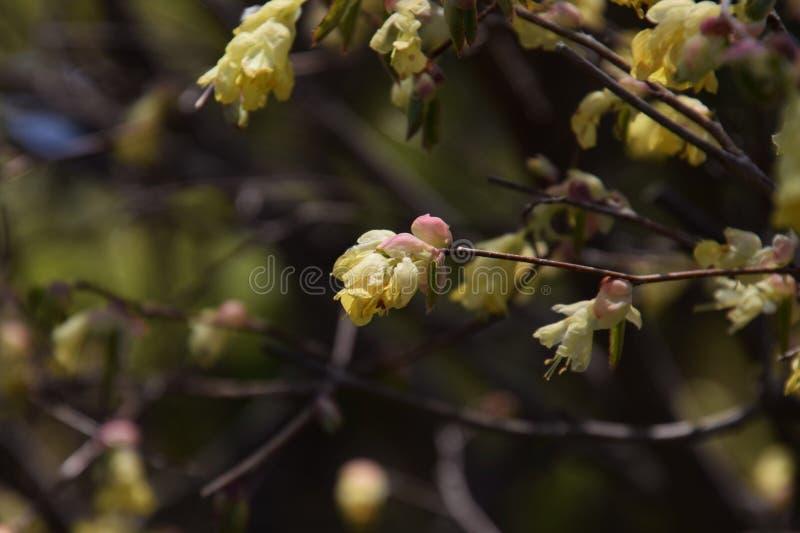 Buttercup winter hazel. Spring blossoms / Buttercup winter hazel royalty free stock photography