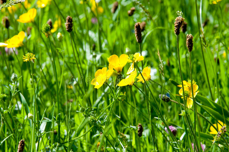 Buttercup yellow flowers on the meadow royalty free stock image