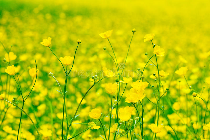 Download Buttercups stock image. Image of colourful, head, detail - 19681985