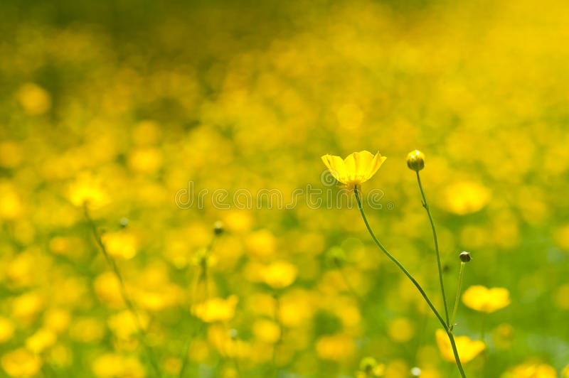 Download Buttercups stock photo. Image of nature, background, area - 19681996